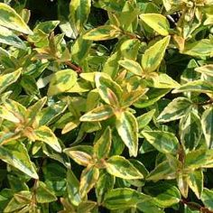 Abelia x grandiflora 'Kaleidoscope' PP16,988atSan Marcos Growers