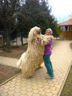 Komondor Dog !!  This is a large, white-colored Hungarian breed of livestock guardian dog with a long, corded coat. Its is also referred to as 'mop dogs,' the Komondor is a long-established powerful dog breed that has a natural guardian instinct to guard livestock and other property. this breed has declared one of the Hungary's national treasures, to be preserved and protected from modification.