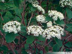 Viburnum lantana -- 9-15 ft, upright. Prefers loamy, moist soils. Tolerates dry, calcar- eous soils. White  owers in mid-May. Red to black fruits. Red fall color. To ensure a good fruit display, plant more than one in a bed.