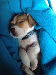 Alfie, my jack Russell puppy
