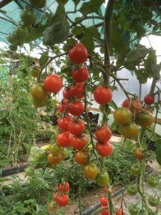 Örtagårdens Plantskola - Kryddor örtkryddor fröer odla vitlök chilipeppar frökataloger - Chielega