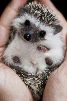 Image result for cute baby hedgehog