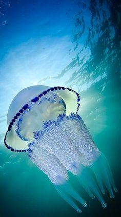 Barrel jellyfish (Rhizostoma pulmo) | by Jordi Benitez Castells on 500px