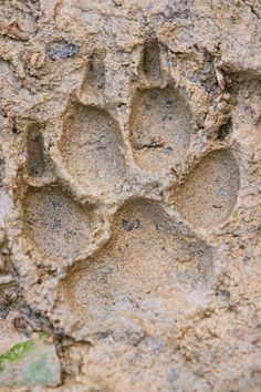 Mountain Lion tracks - Bing Images