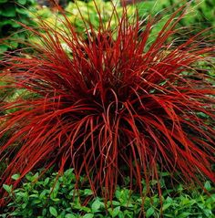 Uncinia Rubra - Firedance Ornamental Grass - I don't think this does well in U. northeast front porch landscaping Love the color! I'm now on a mission to add this in my garden next to the Karl Forester. Shade Garden, Garden Plants, Bonsai Plants, Red Plants, Bonsai Seeds, Roses Garden, Patio Plants, Fruit Garden, Tropical Garden