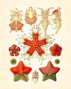 Vintage Ernst Haeckel Fantasy Sea Life Asteridea Art Print 8 x 10