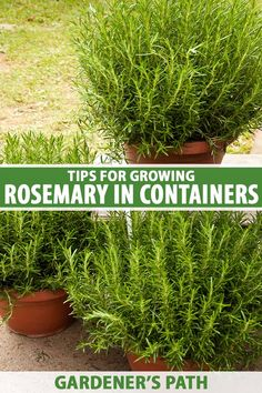 If you love fresh rosemary but don't have room in your garden, why not grow it in containers? This easycare herb grows happily in pots and planters and provides ornamental interest in addition to its culinary uses. Learn how to grow rosemary in containers now on Gardener's Path. #rosemary #containergarden #gardenerspath Rosemary Plant, How To Grow Rosemary, How To Grow Herbs, Rosemary Growing, Gardening For Beginners, Gardening Tips, Indoor Gardening, Outdoor Pots, Outdoor Ideas
