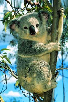 The koala (Phascolarctos cinereus, or, inaccurately, koala bear[a]) is an arboreal herbivorous marsupial native to Australia. It is the only extant representative of the family Phascolarctidae, and its closest living relatives are the wombats. Wild Animals Photos, Animals And Pets, Cute Animals, Exotic Animals, Animals Images, Animal Pictures, Funny Pictures, Bear Wallpaper, Animal Wallpaper
