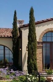 Italian Cypress - at front entry