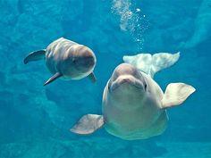 北極のシロイルカ「ベルーガ」