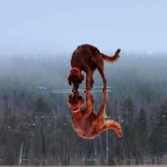Irish setter - I grew up with two Irish setter... what a gorgeous picture!
