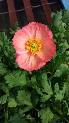 Icelandic Poppy 'Warm Rose' (Papaver nudicaule) Flowers Perennials, Planting Flowers, Icelandic Poppies, Ornamental Cabbage, Clay Soil, Pink Garden, Flower Images, Grasses, Dark Backgrounds