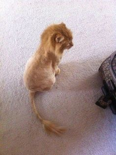 lion cut~~~most cats hate this~~