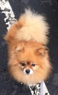 Princess is an adoptable Pomeranian searching for a forever family near Grass Valley, CA. Use Petfinder to find adoptable pets in your area.