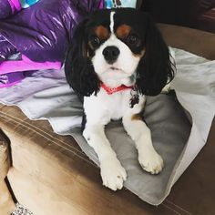 Fresh groomed Wifi.. #tbd #Paapppaaatyy #puntupuntu #cavalierkingcharlesspaniel #dogsofinstagram #dog... Spaniels, Cavalier King Charles, Camilla, Clarity, Wifi, Projects To Try, Fresh, Stuff To Buy, Animals