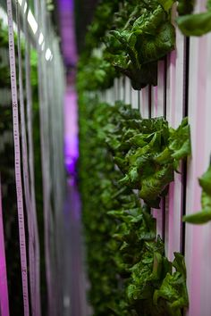 On Friday, Sept. 30, the first harvest of over 1,000 head of lettuce from the on-campus Freight Farm will be used in dining halls across campus.
