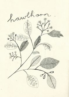 Foraging for Hawthorn.