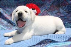 white english labradors puppy