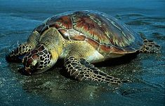 Green sea turtle - one of its major nesting grounds is Tortuguero, Costa Rica