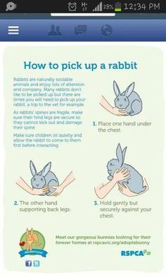 How to pick up your rabbit. 3 examples are shown of how to pick up a rabbit safely in the image. This is important to know because if rabbits have fragile spines and if they are uncomfortable they will kick and risk breaking their back.
