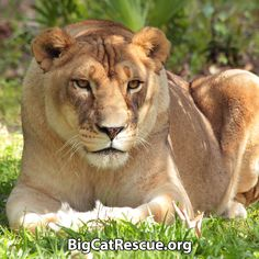 Big Cat Updates: What did Dr. Justin say about Nikita Lioness? Found out at:  BigCatRescue.org/july-24-2017/