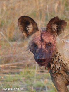 A wild dog after a kill