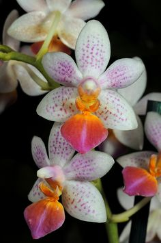 Moth-Orchid: Phalaenopsis 'Fantasy Musick' - by Cris Figueired♥ Unusual Flowers, Rare Flowers, Amazing Flowers, Beautiful Flowers, Moth Orchid, Phalaenopsis Orchid, Orchids, Bloom, Orchidaceae