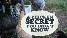 6 things my chickens can live without and save money