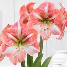 Winter Delight Amaryllis will light up a winter day like nothing else we know.
