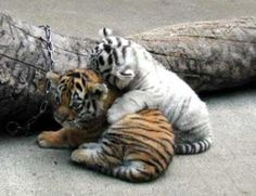 orange & white baby tigers :)