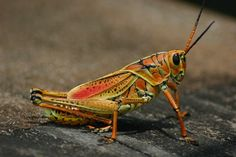Colorful grasshoppers
