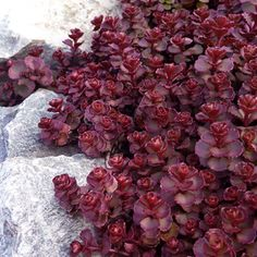 sedum spurium 'voodoo', common name is stonecrop. beautiful pink flowers in late summer and fall. hummingbird and butterfly magnet. excellent ground cover, spilling out of pots, rock gardens. drought tolerant, moisture tolerant if in very well drained soil. sun to part shade, zones 3 - 9. can be planted from seed - easy and economical!