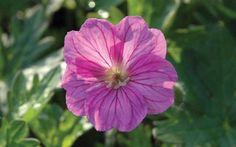 The best geranium varieties to grow 'Blushing Turtle' shown