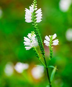 Physostegia 'Summer Snow'  Deze scharnierbloem (Physostegia virginiana 'Summer Snow') is een fantastische plant in de border! Deze vaste plant bloeit met zuiver witte bloemen vanaf de zomer tot ver in de herfst. De bloemen lijken op een scharnier te zitten. Prachtig in een border en zeker ook in een grote bloembak op het terras of balkon. Deze bloemen bloeien lang en zijn ook mooi in een vaas in huis. Bestel hier deze schitterende scharnierbloem (Physostegia virginiana 'Summer Snow')…