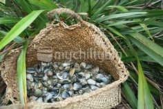 A kete or maori basket of fresh pipi and cockles, New Zealand Kiwiana, Island Food, Cockles, Play Based Learning, Best Chef, Mamma Mia, Channel, Basket, Culture