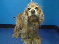 URGENT - Manhattan Center   DRATINI - ID#A0984459   I am an unaltered male, brown Cocker Spaniel mix.   The shelter staff think I am about 7 years old.   I weigh 31 pounds.   I was found in NY 10027.   I have been at the shelter since Nov 08, 2013 https://www.facebook.com/Urgentdeathrowdogs/photos_stream?ref=ts#!/photo.php?fbid=703509096328639&set=pb.152876678058553.-2207520000.1383957015.&type=3&theater