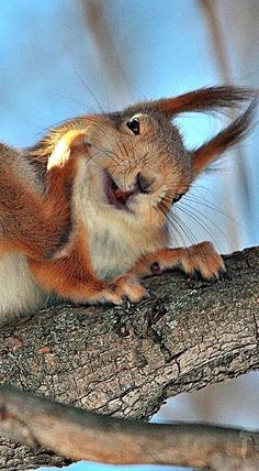 A Happy Carefree Red Squirrel. Zoo Animals, Animals And Pets, Funny Animals, Cute Animals, Cute Squirrel, Baby Squirrel, Squirrels, Animal 2, Mundo Animal