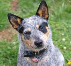 australian dog - Google Search