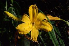 Keltainen päivänlilja