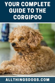 A Corgipoo is a mix between a Pembroke Welsh Corgi and Miniature, Toy or Standard Poodle. Mixing two favorite dog breeds makes for a great pet, continue reading to find out if the Corgi Poodle Mix is a match for you! Corgi Poodle Mix, Poodle Mix Breeds, Corgi Mix Breeds, Teacup Puppies, Corgi Puppies, Smartest Dog Breeds, Australian Shepherd Puppies, Companion Dog, Medium Sized Dogs
