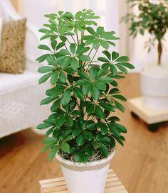 BALDUR-Garten Schefflera, Strahlenaralie 1 Pflanze: Amazon.de: Garten