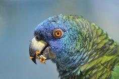 Close-up portrait of a Saint Lucia Amazon (Amazona versicolor).