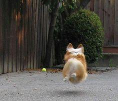Corgis can fly!!