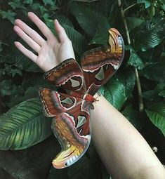 In touch with nature Have you ever seen this Attacus atlas moth? Photo by In touch with nature Have you ever seen this Attacus atlas moth? Photo by . Beautiful Bugs, Beautiful Butterflies, Amazing Nature, Simply Beautiful, Beautiful Flowers, Cool Insects, Bugs And Insects, Nature Animals, Animals And Pets