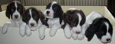 I just love me some Springer Spaniel puppies
