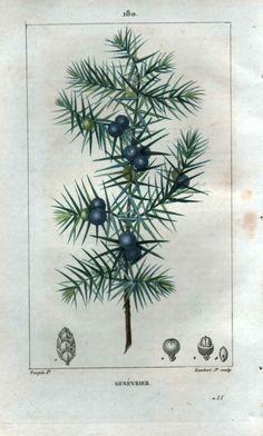 Botanical Illustration, Genevrier (Juniper Tree) Pl. 180 (1817) by Jean Lambert - Pierre Turpin.