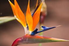 "The flourishing Azores.""Parrot flower"" as it's called in Swedish or Strelitzia Reginae. Photo: Henrik."