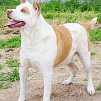 Pictures of Mickey a American Pit Bull Terrier for adoption in Iola, TX who needs a loving home.