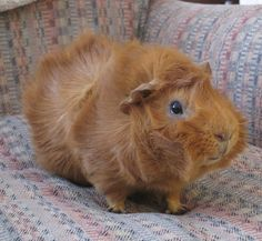 The Guinea Pig Daily: Biscuit