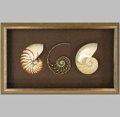 Nautilus Shells in shadow box.  | The Great Frame Up | Naples, FL | www.naples.thegreatframeup.com/ |